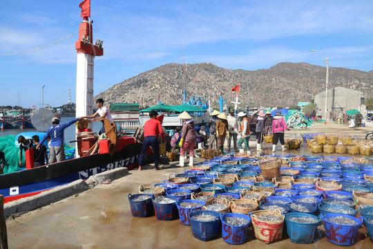 Ngư dân Ninh Thuận trúng đậm cá cơm sau Tết - 1
