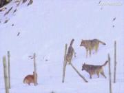 3 chó sói truy sát như bay, chó nhà vẫn bình tĩnh thoát thân
