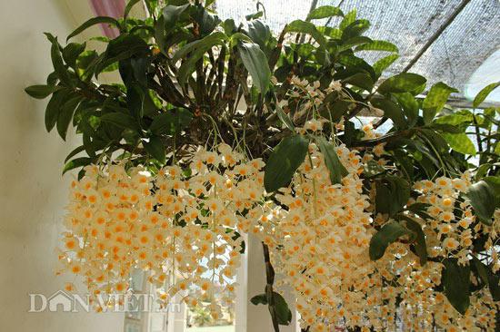 """9X """"già"""" cùng kinh nghiệm trồng tỉa lan thủy tiên, kim điệp ra hoa bừa chỏm - 2"""
