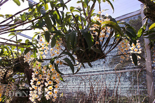 """9X """"già"""" cùng kinh nghiệm trồng tỉa lan thủy tiên, kim điệp ra hoa bừa chỏm - 6"""