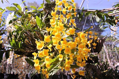 """9X """"già"""" cùng kinh nghiệm trồng tỉa lan thủy tiên, kim điệp ra hoa bừa chỏm - 7"""