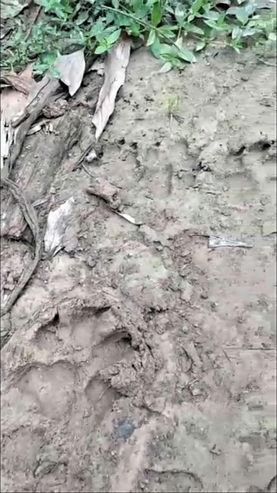 Quảng Trị: Hàng chục con dê mất tích, nghi báo hoa mai ăn thịt - 2