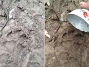 Quảng Trị: Hàng chục con dê mất tích, nghi báo hoa mai ăn thịt