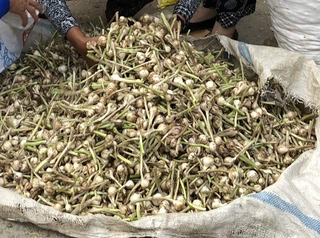 """Chở tỏi tươi nơi khác về đảo """"dán mác"""" trồng tại Lý Sơn bán giá cao - 3"""