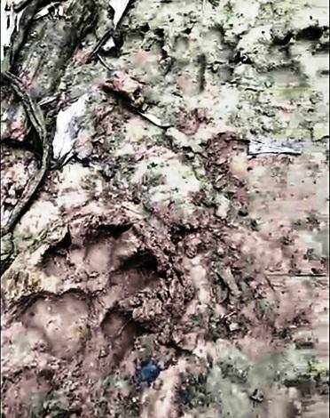 Báo hoa mai xuất hiện, người dân không dám vào rừng vì sợ bị ăn thịt - 2