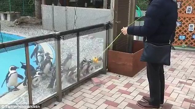 Bầy chim cánh cụt quay đầu vòng tròn đồng loạt vì trò yo-yo - 1