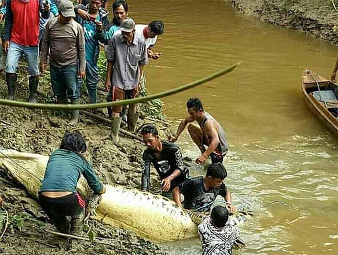 Mổ bụng cá sấu khổng lồ dài 6m, đau xót khi nhìn thấy bên trong - 3