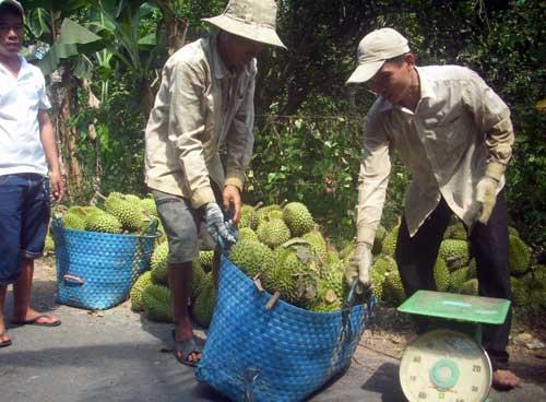 Thu hàng tỷ đồng từ nuôi gà nòi, trồng sầu riêng, cây mật cật... - 2