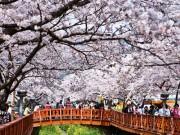 Thưởng lãm hoa Anh đào, hoa Tulip tại Hàn Quốc