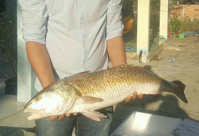 Kết quả hình ảnh cho Ngư dân Bà Rịa – Vũng Tàu bắt được cá óng ánh nghi sủ vàng, rao bán 600 triệu
