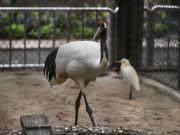 Ngắm đôi chim cực quý, có nguy cơ tuyệt chủng ở ngay giữa lòng Thủ đô