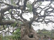 """"""" Cụ """"  me bonsai trăm tuổi được rao bán gần 200 triệu ở Đồng Nai"""