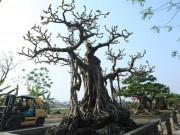 """Lão  khùng  bỏ 6 cây vàng mua cây đa có bộ dăm tán  """" hiếm có khó tìm """""""