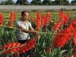 Lãi 600 triệu mỗi năm từ 1ha hoa lay ơn, cúc
