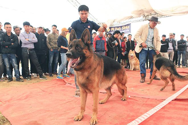 Chó cảnh đua tài, sắc cùng chó nghiệp vụ ở Hà Nội - 3