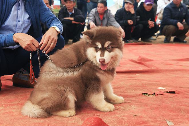 Chó cảnh đua tài, sắc cùng chó nghiệp vụ ở Hà Nội - 10