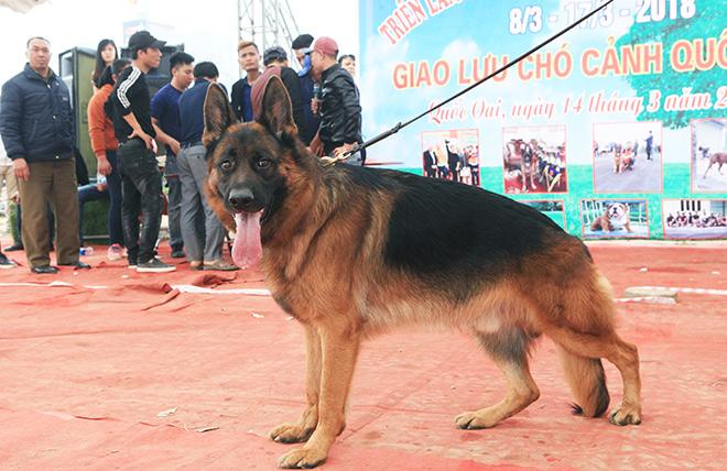 Chó cảnh đua tài, sắc cùng chó nghiệp vụ ở Hà Nội - 12