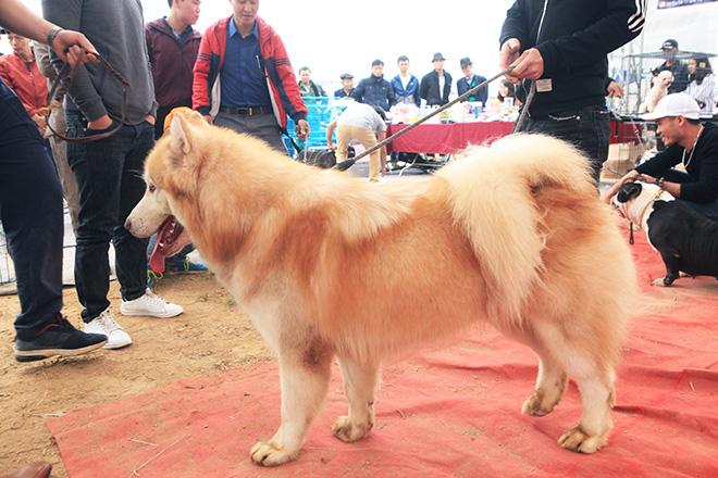 Chó cảnh đua tài, sắc cùng chó nghiệp vụ ở Hà Nội - 9