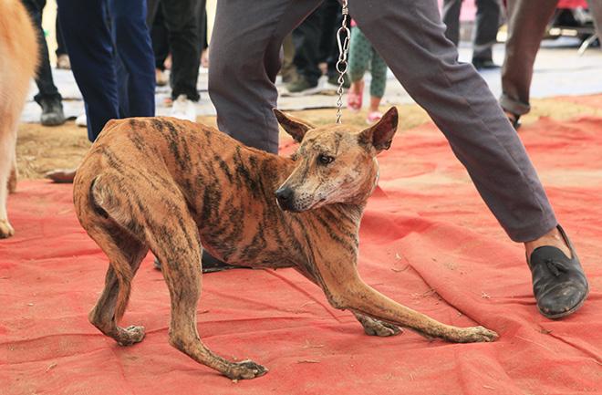 Chó cảnh đua tài, sắc cùng chó nghiệp vụ ở Hà Nội - 7