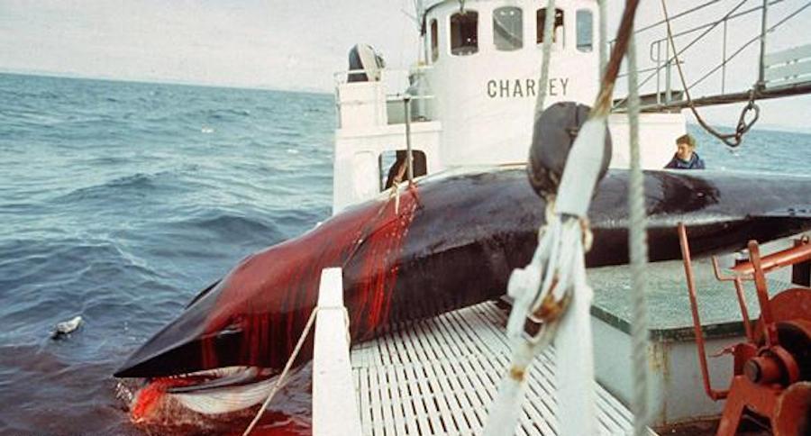 Quốc gia muốn giết cả ngàn cá voi nhưng không đem về ăn - 1