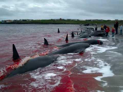 Quốc gia muốn giết cả ngàn cá voi nhưng không đem về ăn - 2