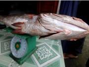 Câu được cá 10,5 kg, nghi sủ vàng quý hiếm