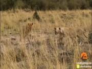 Video: Cầy mangut quyết chiến, phá vòng vây của đàn sư tử