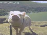 Chú lợn may mắn nhất thế giới được đi du lịch qua nhiều quốc gia
