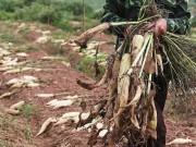 Hà Nội: Tìm cách  giải cứu  3.000 tấn củ cải