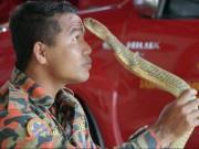 Malaysia: Chuyên gia bắt rắn bị hổ mang chúa khổng lồ cắn chết
