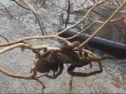 Úc: Lũ lụt làm lộ diện nhện khổng lồ to hơn chó