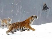 Khoảnh khắc hổ Siberia cực nhanh vờn con mồi không lối thoát