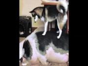 Cặp đôi chó - lợn cực đáng yêu khiến dân mạng phát sốt