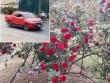 Vụ mất trộm cây hồng cổ 30 triệu đồng: Công an ráo riết truy tìm thủ phạm