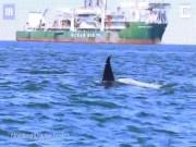 Video hiếm quay cảnh 2 cá voi sát thủ thay nhau xé xác cá heo