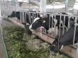 Bỏ phố về quê nuôi bò, vắt sữa, lãi gần 1 tỷ/năm