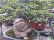 Bất ngờ: Một cây duối bonsai 40 tuổi gốc cực dị được trả 300 triệu