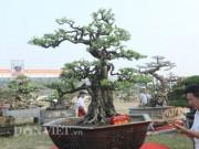 """Khế cổ thụ  """" kết mộc vi sơn """"  hiếm có ở Việt Nam giá 6 tỷ đẹp cỡ nào?"""