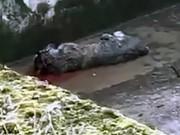 Đan Mạch: Hổ tử chiến đến chết khiến khách tham quan hãi hùng