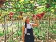 Về Ninh Thuận thỏa thích hái nho đầy túi, lại săn ảnh đẹp mang về