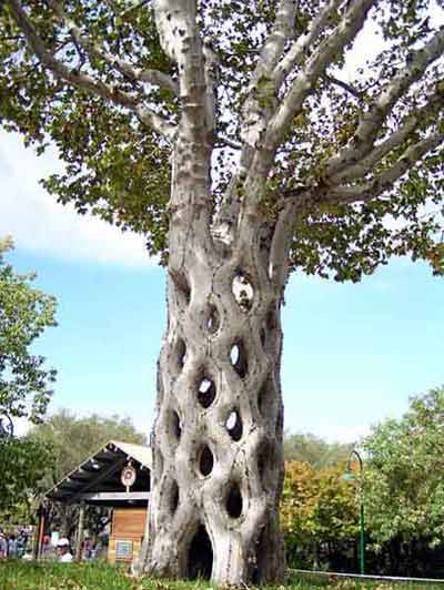 """Những """"kỳ cây"""" lạ lùng nhất thế giới - 2"""