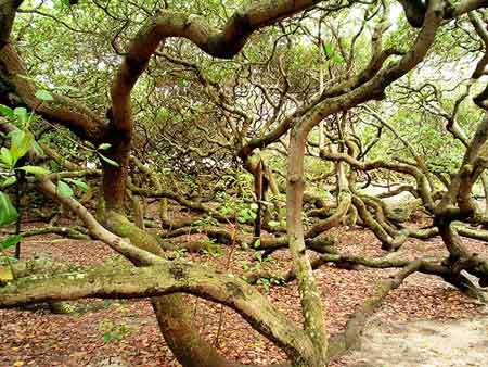 """Những """"kỳ cây"""" lạ lùng nhất thế giới - 4"""