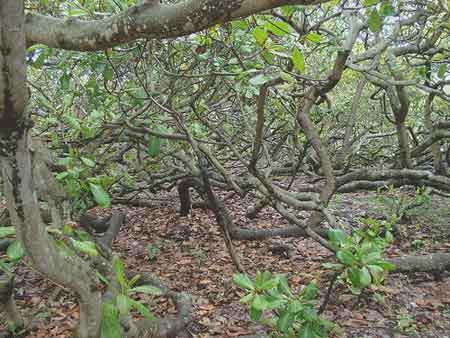"""Những """"kỳ cây"""" lạ lùng nhất thế giới - 5"""