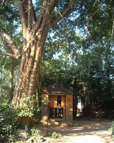 Sự thật về cây sanh cổ thụ ở Huế có ma - 2