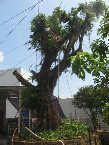 Sự thật về cây sanh cổ thụ ở Huế có ma - 3