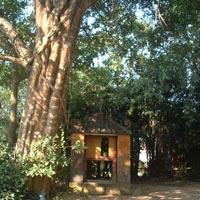 Sự thật về cây sanh cổ thụ ở Huế có ma