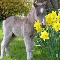 Những chú ngựa nhỏ nhất thế giới