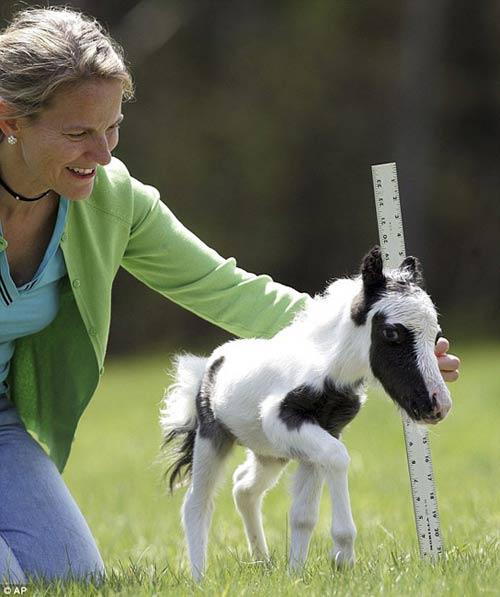 Những chú ngựa nhỏ nhất thế giới - 3