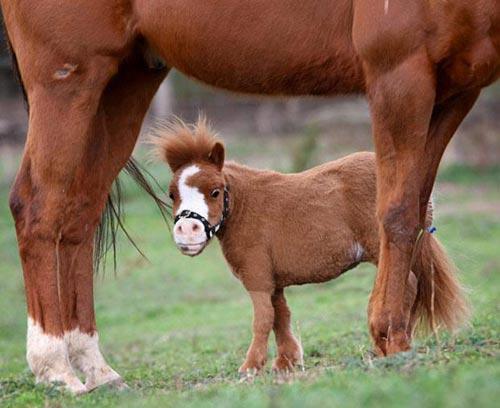 Những chú ngựa nhỏ nhất thế giới - 6