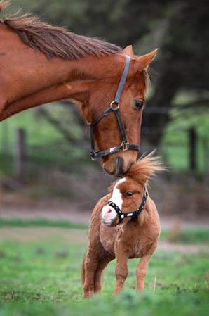 Những chú ngựa nhỏ nhất thế giới - 4